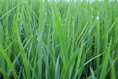 rice field: Green grass rice field Stock Photo