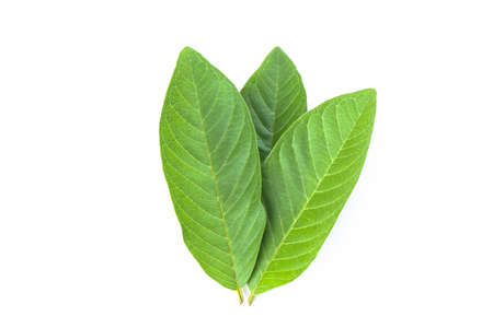 Fresh guava leave isolated on white background Stok Fotoğraf