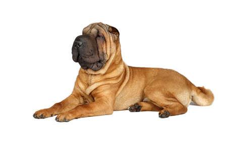 sharpei: Sharpei dog sitting Stock Photo