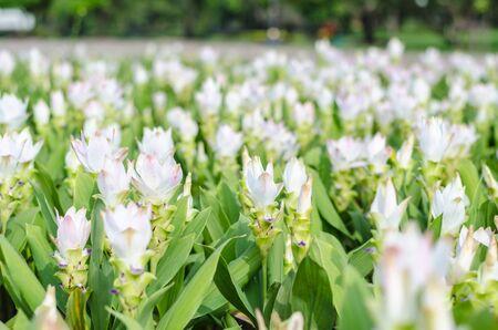 siam: Siam tulip garden, white.