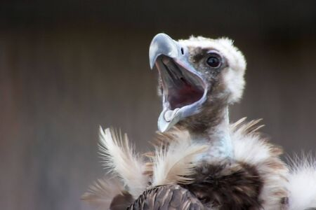 Screaming vulture