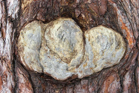 Pine tree bark close-up with unusual form