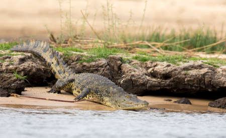A very large and dangerous-looking crocodile enters the Okavongo Delta in Botswana