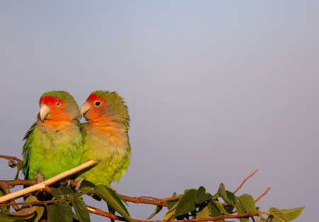 Perched on a tree limb, this pair of amorous rosy-faced lovebirds are preening each other in Namibia. Stockfoto