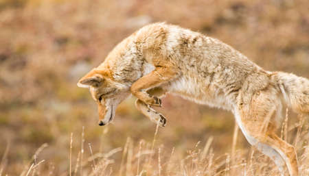 Coyote in Yellowstone National Park in mid-pounce as it hunts for food.