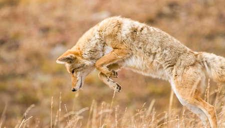 Kojote im Yellowstone-Nationalpark mitten im Sprung, während er nach Nahrung jagt.