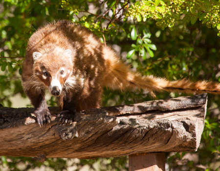 This white-nosed coatimundi was found on a log at Cave Creek Ranch in Portal, Arizona. It is looking quite intently at the photographer before it charged, Stock fotó