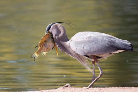 This great blue heron caught a fish that was too big to eat but that didnt stop it from trying. Found at Papago Park in Phoenix, Arizona.