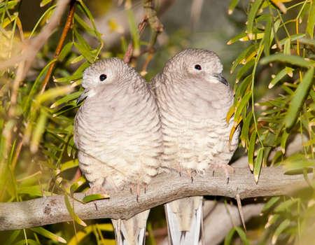 Pair of Inca doves roosting at dawn at Gilbert Water Ranch, Arizona Banco de Imagens