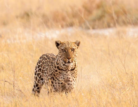 Camouflaged leopard in Etosha National Park, Namibia staring at the photographer
