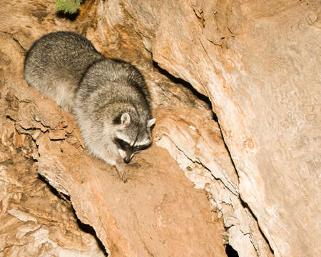 This racoon was caught eating near some rocks in a campground near Sedona, Arizona after dark.