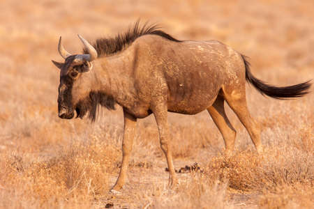 The blue wildebeest is a large antelope that can often be found grazing in Etosha National Park, Namibia