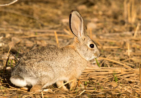 This desert cottontail paused during munching on some grass at Gilbert Water Ranch, Arizona Stock Photo - 108097413