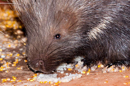 Nightly, a lady in Namibia puts out piorridge-like food for porcupines to come eat.