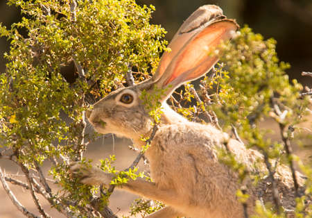 This black-tailed jackrabbit munching on a creosote bush in Veterans Oasis Park in Chandler, Arizona.