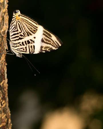 Zebra mosiac butterfly at Butterfly Wonderworld in Scottsdale, Arizona. Imagens
