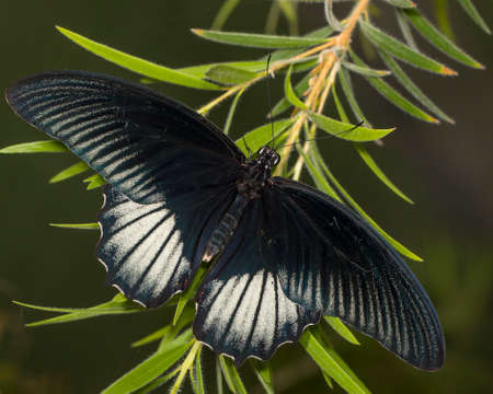 The great mormon is a distinctively shiny black butterfly.