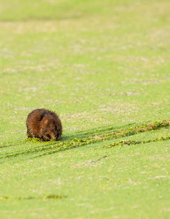 The muskrat is a semi-aquatic rodent found in wetlands. I was surprised to find this one in Phoenix, Arizona. 写真素材