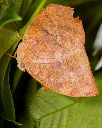 If this noble leafwing butterfly was near dead plants, it would be perfectly camouflaged.