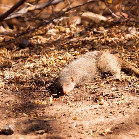 This banded mongoose did not seem to mind the prescence of the photograopher as it naps peacefullly amongst the ground clutter in Namibia. Banco de Imagens
