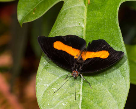 The banded grecian shoemaker  is a black butterfly with a bright orange stripe across the back.