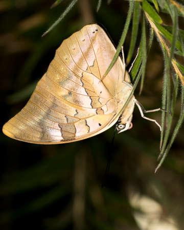 Silver king shoemaker is a golden beige butterfly.