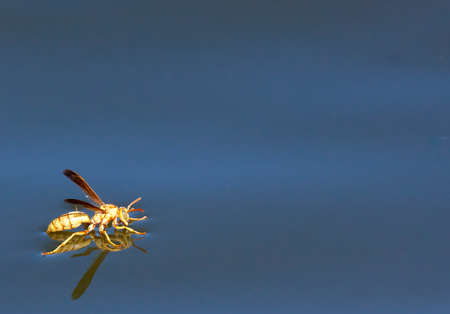 This wasp was drinking while standing on the confluence of the Salt & Gila Rivers in Phoenix Stock Photo