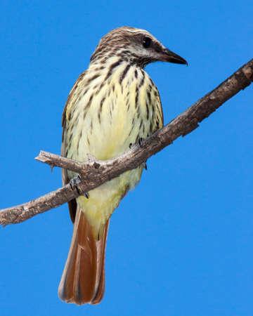 Difficult to find sulphur-bellied flycatcher.