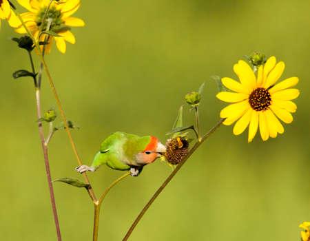 Peach-faced loivebird in Phoenix eating wildflower seeds. Stockfoto