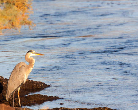 Great blue heron patrolling the shores of the Salt River looking for fish.