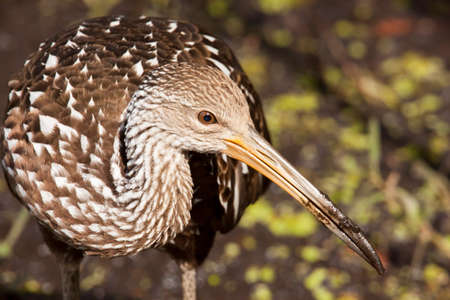 Limpkin in Florida park approaches extremely close. Banco de Imagens