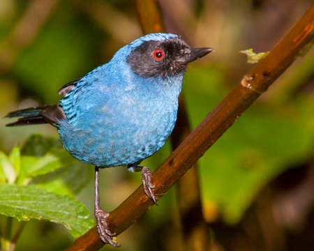 The red eye, black mask and bright blue body clearly identify this as a masked flowerpiercer.