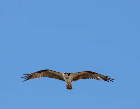 Osprey soaring above lake looking for fish.