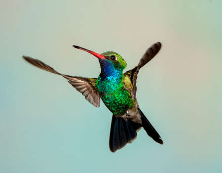 broad-billed hummingbird stopped action shows wings in figure 8 pattern