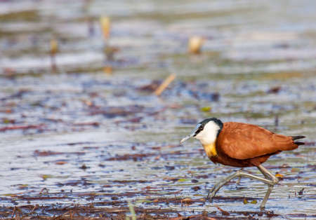 African jacana wading through Okavanga Delta in Botswana.