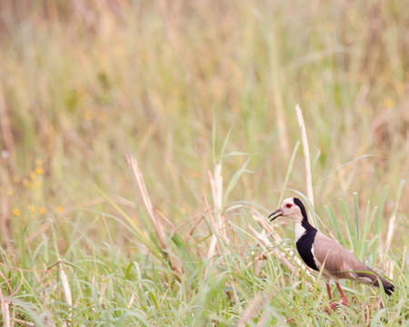 long-toed lapwing wanders through grassy marsh land near the Okavango Delta in Botswana