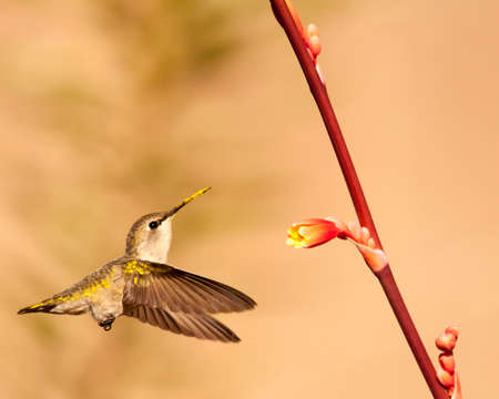 Costas hummingbird is covered in pollen as it approaches a flower. Banco de Imagens