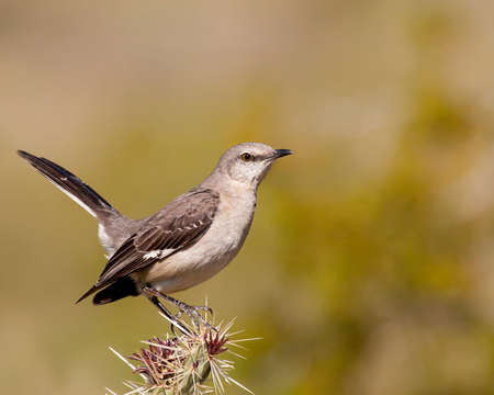 Northen mockingbird perched on cactus with its long tail raised for balance. Banco de Imagens