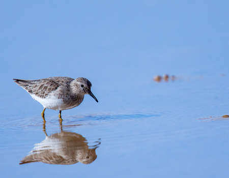 A small ripple passes through the reflection of this least sandpiper on this startling blue pond.