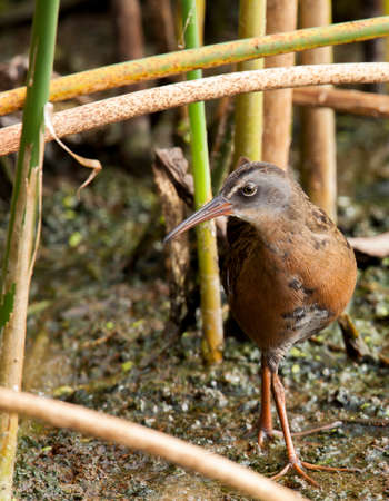 This sora stayed inside the marshy vegetation until it made this brief appearance.