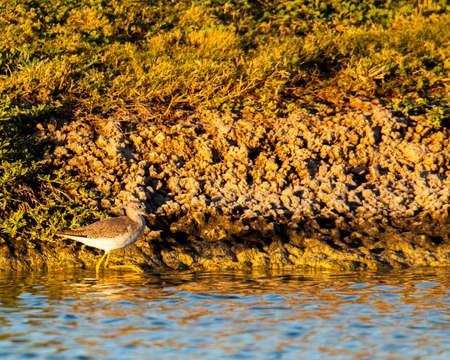 Clearly displaying its namesake, this lesser yellowlegs is wading in a pond and illuminated with the warm morning sun. Reklamní fotografie