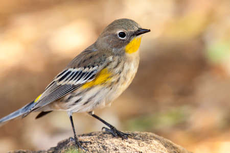 The bright yellow of this yellow-rumped warbler stands out against the subdued background tones.