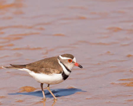 Three-banded plover wading in Walvis Bay, Namibia.