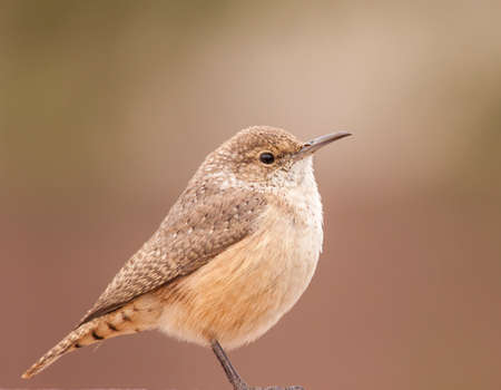 Full-frame image of rock wren against soft blur of background.