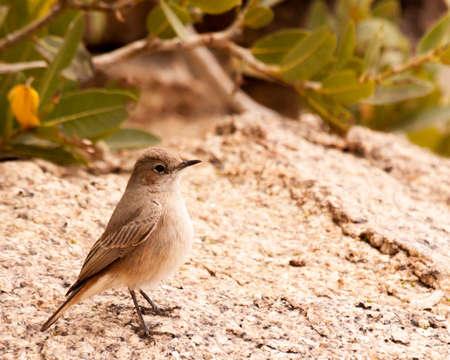 Mountain wheatear at Erongo Wilderness Lodge, Namibia.