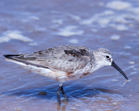 Curlew sandpiper with food in bill at Walvis Bay, Namibia.