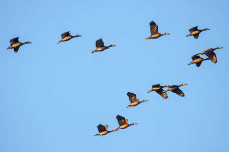 flock of white-faced ducks flying in formation in the skies over Botswana.