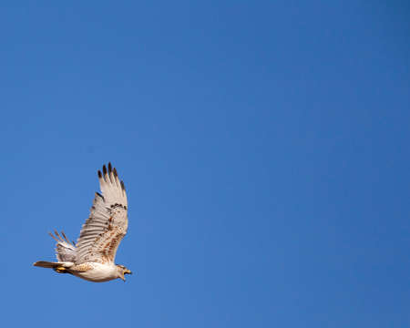 This ferruginous hawk is protesting when we goit too close to its nest. Reklamní fotografie