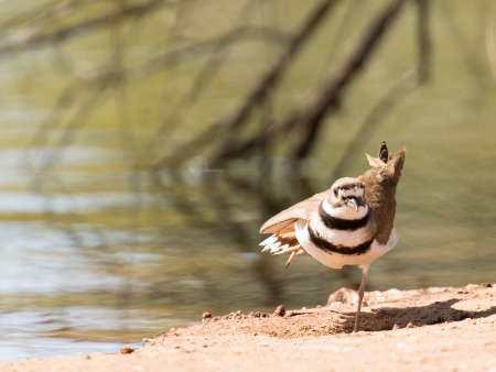 Normally the first bird to fly away when approached, this amiable killdeer seemed to be posing for me while standing on one leg.