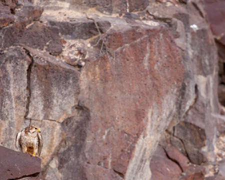 Prairie falcon perched on rocky outcrop near Boise, Idaho. Фото со стока - 111833304